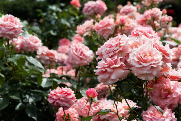 Rosen pflegen
