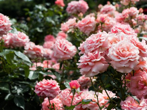 Rosenpflege übers Jahr – die schönsten Rosen mit etwas Pflege