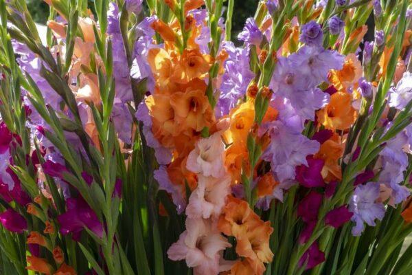 Gladiolen im Garten