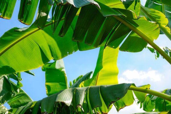 Bananen Stauden