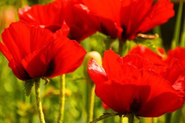 Rote Mohnblüten
