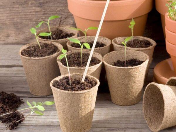 Pflanzen richtig pikieren – so geht´s