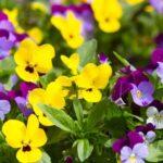 Hornveilchen – Pflanze, Pflege und Kräuterkunde