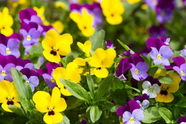 Gelbe und violette Hornveilchen
