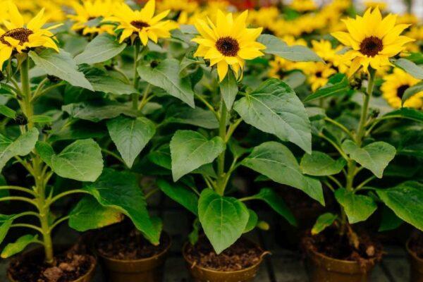 Sonnenblumen für den Balkon