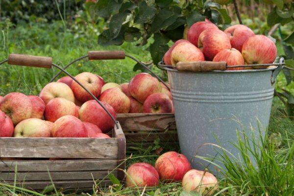 Äpfel in Eimern und Schüsseln
