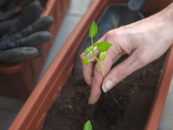 So gelingt der Anbau von Paprika auf dem Balkon