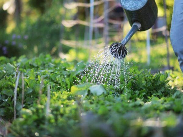 Gemüse mit geringem Wasserbedarf: Diese Pflanzen überstehen auch Trockenperioden